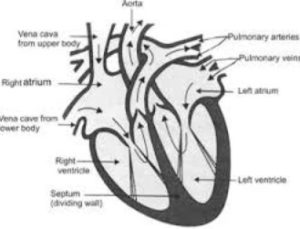 Labelled Diagram of Human Heart